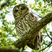 Female Barred Owl by Jeff Clow