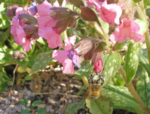 Hairy footed flower bee on lungwort 3