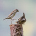Small photo of Sparrow conflict.