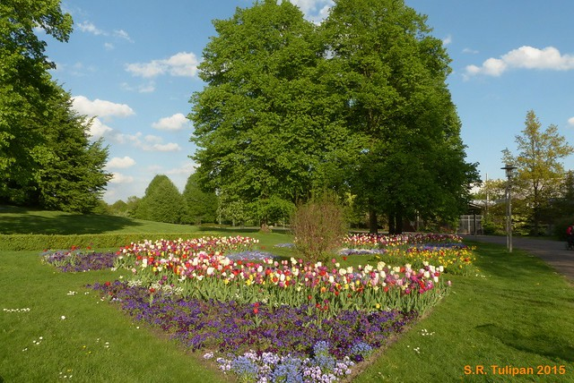 Britzer Garten Tulipan 06.05.2015  24