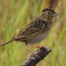 Small photo of Grasshopper sparrow (Ammodramus savannarum)