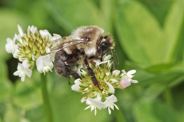 Bee oldpands_MG_6713