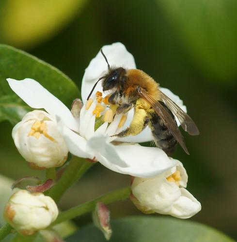 Mining bee (Andrena haemorrhoa?)