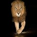 A Lion by Nelis Wolmarans by ORYXphotography