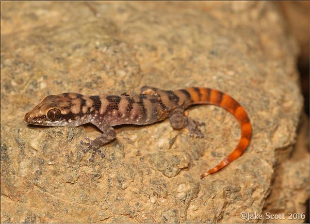 Aruba Leaf-toed Gecko (Phyllodactylus julieni)