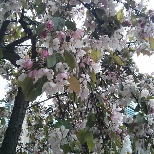 Sakura outside of Tim Hortons, 4 #toronto #yongestreet #wellesleystreet #timhortons #cherryblossom #sakura