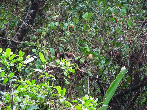 Tortuguero: un tapir