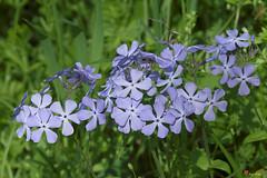 Wild Blue Phlox (Phlox divericata) (DSPF0394)