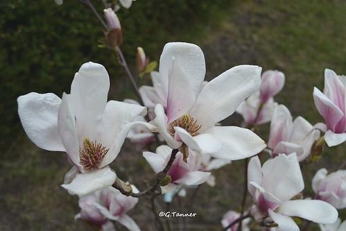 Magnolienzauber