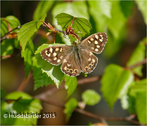 Speckled Wood2-1