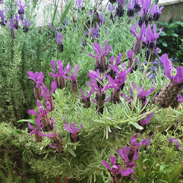 Lavanda in fiore #ilgiardinodiamelia #ameliabefana #viaggioinromagna #casamia #giriingiro #garden #forli #fiori #flowers