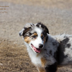 100 Dog Strangers - Australian Shepherd Puppy