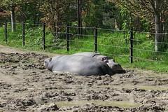 Hippos sleeping (4)