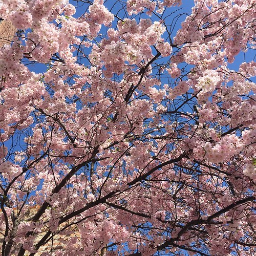 Blossoms!!! #spring #Chicago #tree ????????
