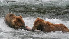 Walka o łososia