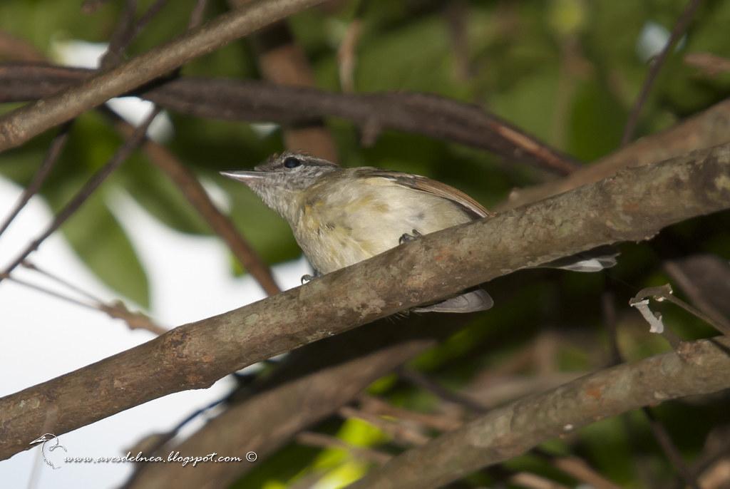 Tiluchi ala rojiza (Rufous-winged Antwren) Herpsilochmus rufimarginatus