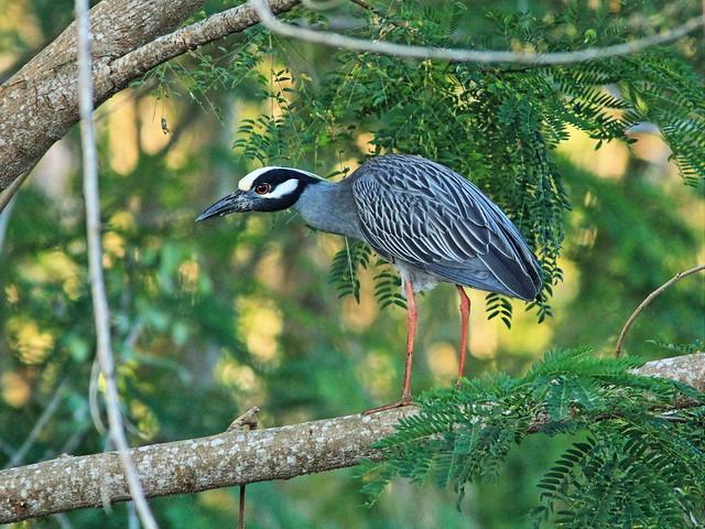 Yellow-crowned Night-Heron 20150410