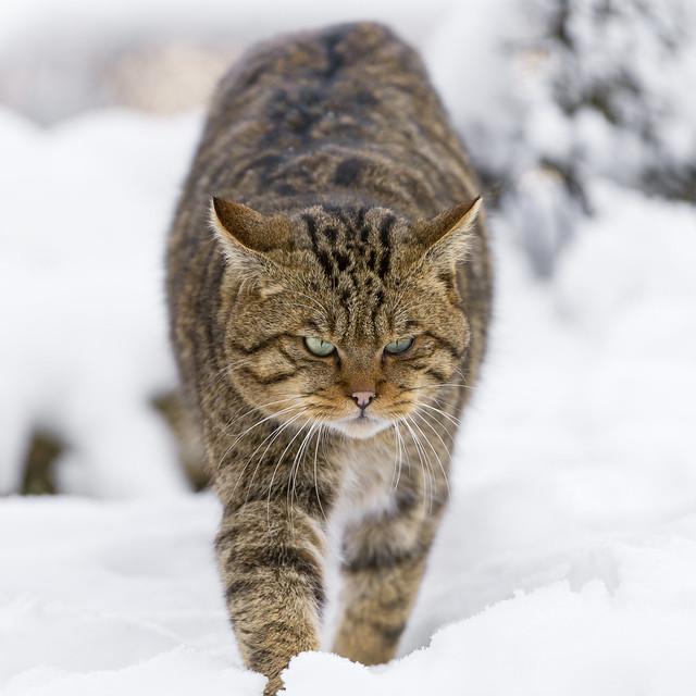Wild cat walking in the snow III