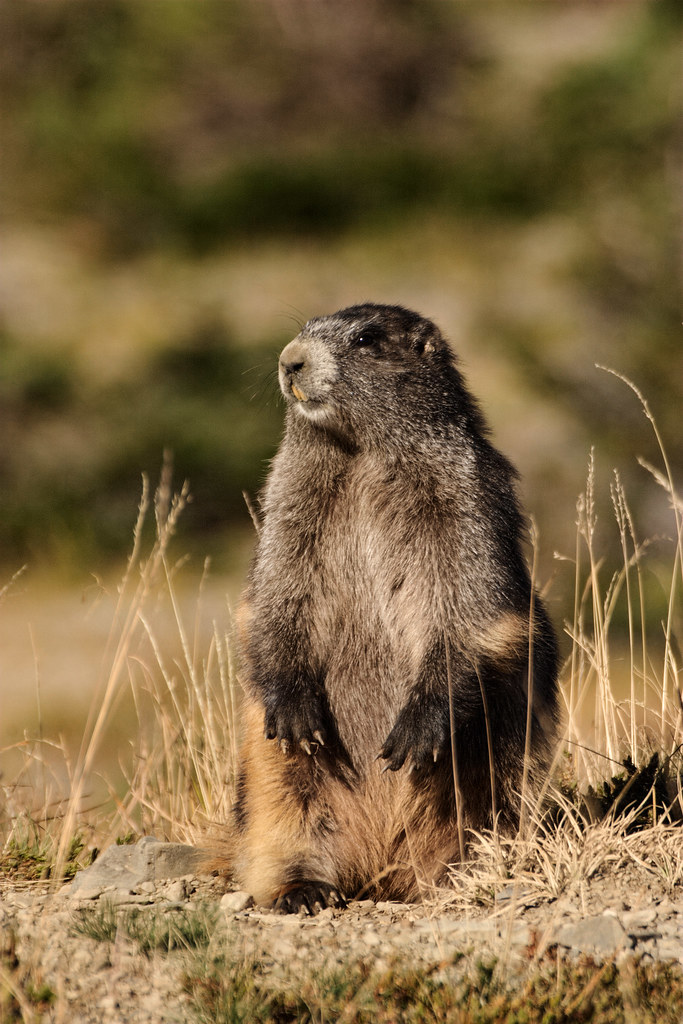 An Olympic marmot near Obstruction Point in the Hurricane Ridge area of Olympic National Park