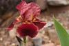 Crimson Iris