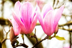 flower, bud, magnolia, plant, macro photography, flora, close-up, plant stem, pink, petal,