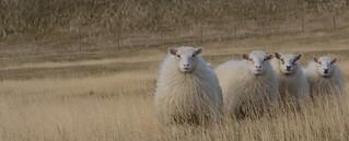 Sheeps looking at me