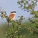 A87A7426 Red backed shrike by steve.ray50
