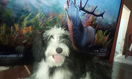 Mel (Border Collie), nosso cão de estimação, está 6 meses idade, seu primeiro Cio. Vídeo especial de comemoração : Gostaria que você visse este vídeo incrível: https://arc.gt/s/1_jf-0-0/584?apiSessionId=5759bfd832e876.33839613. Quero saber o que você acho