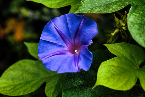 flowers blue summer green nature leaves closeup canon eos vines texas dof bokeh naturallight depthoffield foliage morningglory ef2470mmf28lusm dense 6d outd