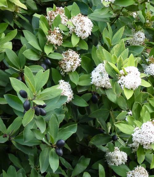Acokanthera oblongifolia 16878718560_c051118c5a_o