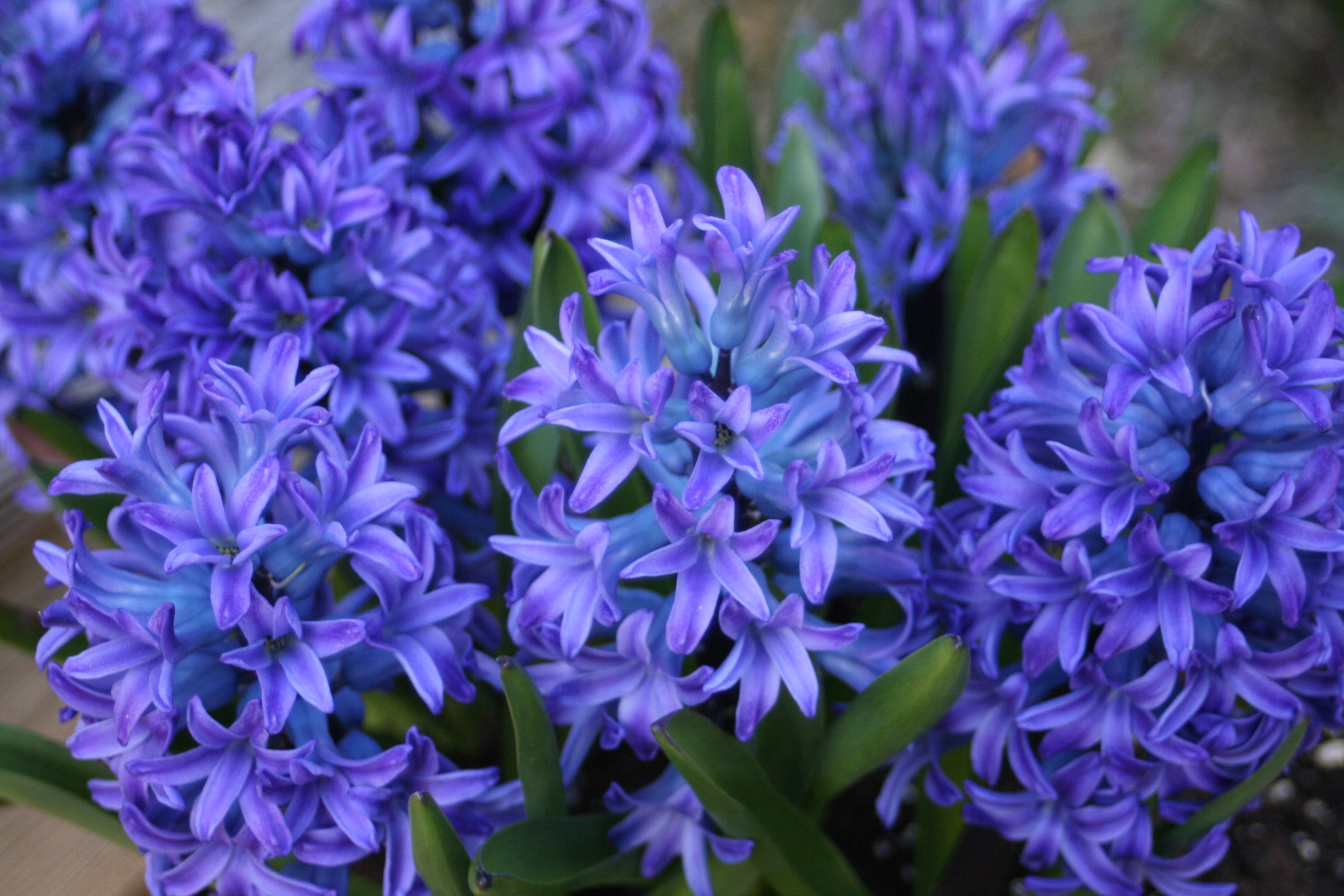 Our Hyacinth