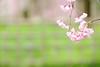 Photo:20150404 Kyoto Imperial Palace Park 4 By BONGURI