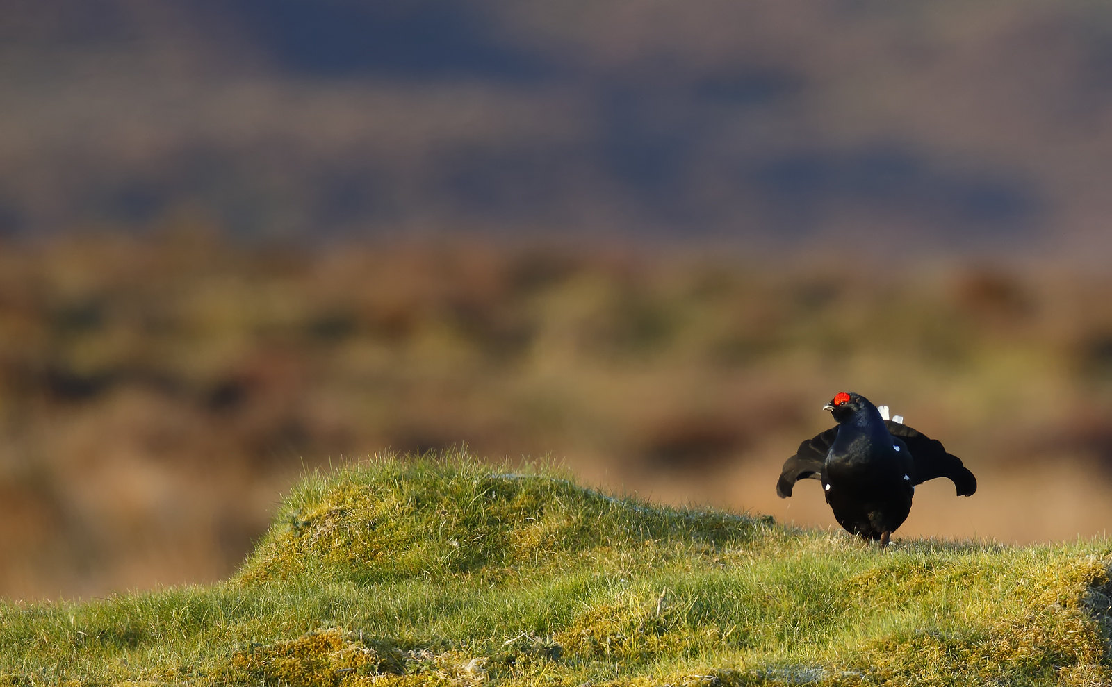 Black Grouse, Wales