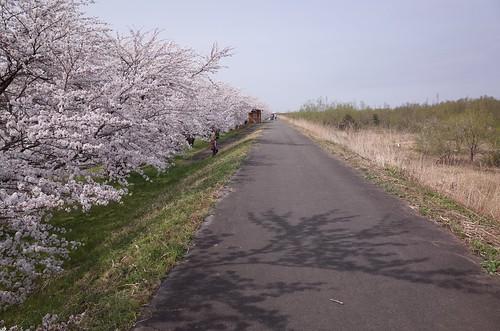 桜の花舞い上がる道を 2015