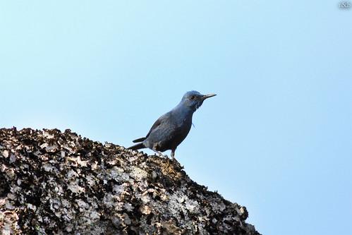 Melro-azul (Monticola solitarius)