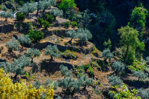 Bancales de olivos en Aldeadávila de la Ribera