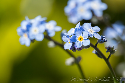 Forget-me-not flowers in macro close up