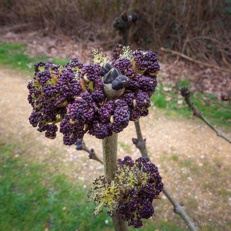 Ash shoots look like purple sprouting broccoli