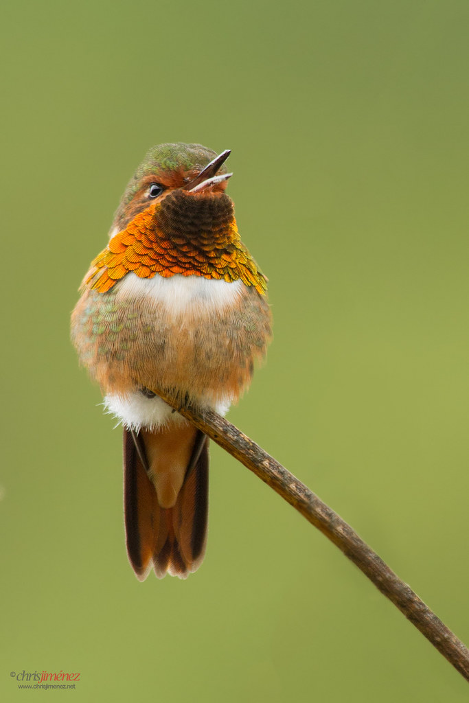 Scintillant Hummingbird (Selasphorus scintilla) perched on a brach