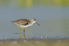 Marsh sandpiper #133 by Ramakrishnan R - my experiments with light
