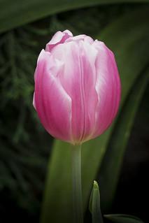 Tulip cv. 'Pink Flag'