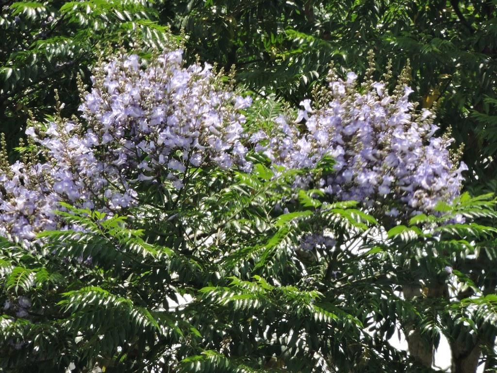 Palisanderbaum im regenwald  Palisanderholzbaum » Bäume » Amazonas Portal