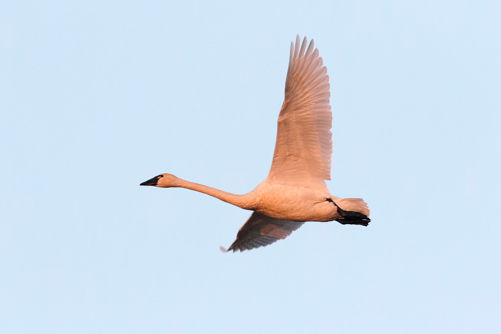 A tundra swan flies near sunset