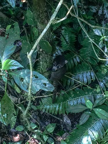 La Réserve de Monteverde: un bébé coati à nez blanc