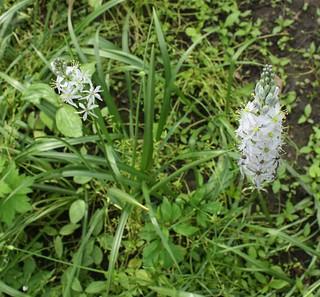 2016-5-23. Hyacinth 1
