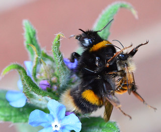 Buff Tailed Bumblebee Under Attack - I think