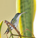 Beija-flor-de-barriga-branca (Amazilia leucogaster) - Plain-bellied Emerald
