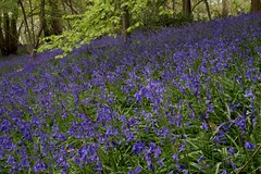 Old Park Wood, Harefield Bluebells 2015