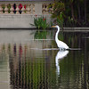 Egret in the lily pond