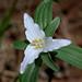 Trillium pusillum var. pusillum, Pee Dee NWR by Will Stuart